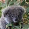 KoalaKid